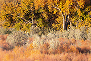 Cottonwood trees and ground cover display their golden fall colors in an area bordering the Chama River in Abiquiu, New Mexico.
