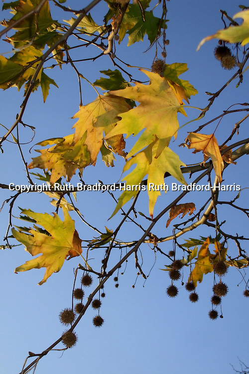 Sunlit golden Autumn leaves and spiky, conker-like fruits of an Oriental Plane tree (Platanus orientalis) glow against a glorious blue sky.<br />
