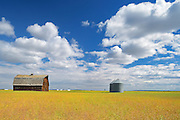 Old barn and canola crop<br />