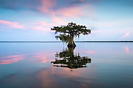 Cypress tree in Lake Fausse Pointe State Park