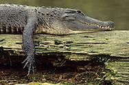 Vereinigte Staaten von Amerika, USA, Florida: amerikanischer Mississippi-Alligator (Alligator mississippiensis) nimmt ein Sonnenbad auf einem Baumstamm liegend. Sonnenbaden ist die Hauptbeschaeftigung waehrend des Tages. | United States of America, USA, Florida: American Alligator, Alligator mississippiensis, taking a sunbath on a trunk, sunbathing is the main activity during the day. |