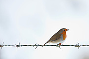 Robin on barbed wire by snowy hillside in The Cotswolds, UK