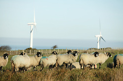 Lakeland sheep north of Whitehaven with windfarm in background,
