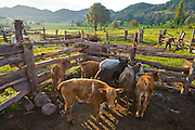 Calves wait to be released as rancher José Angel Galaviz prepares to milk at his home in the Sierra Mountains near Maycoba, in the Mexican state of Sonora.   (Jose Angel Galaviz Carrillo is featured in the book What I Eat: Around the World in 80 Diets.)