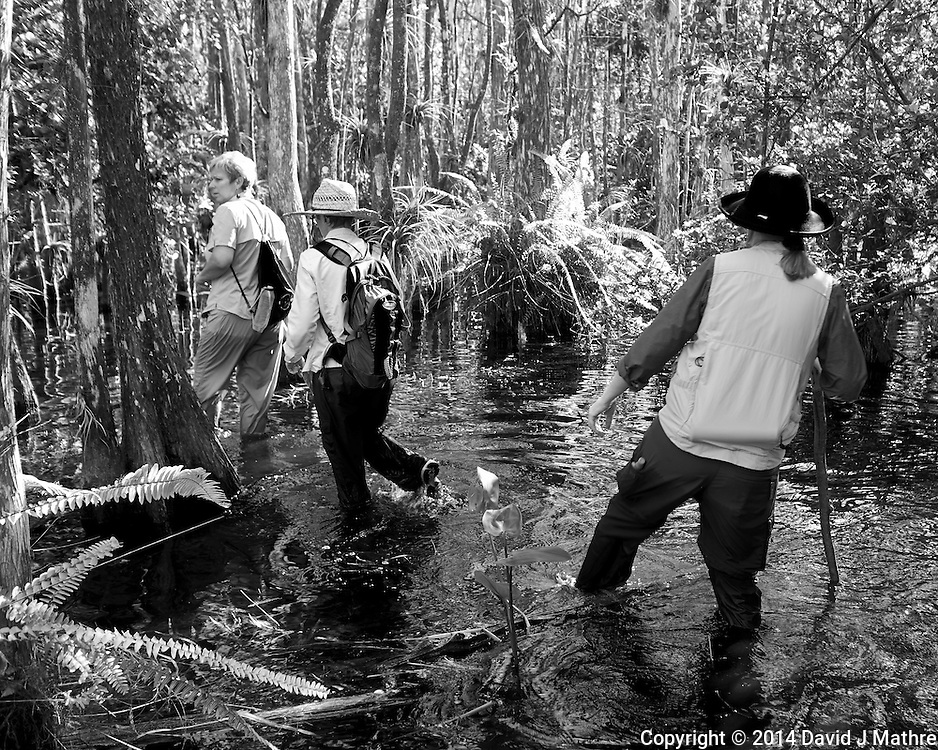 Feet are now wet. Swamp walk with Kristen and Angela in the Everglades behind  Clyde Butcher's Big Cyprus Gallery. Image taken with a Leica X2 camera (ISO 100, 24 mm, f/3.5, 1/50 sec).