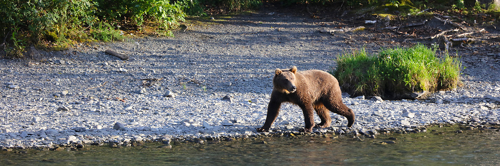 A young grizzly bear walks along the edge of the Russian River near the Kenai National Wildlife Refuge in Alaska