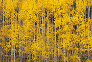 This is a picture of some changing Aspen trees on Kenosha Pass during the fall time in Colorado.<br />