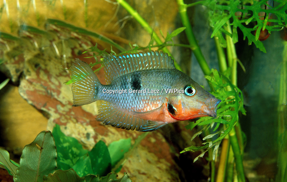 Firemouth Cichlid or Firemouth Meeki, thorichthys meeki, Aquarium Fish