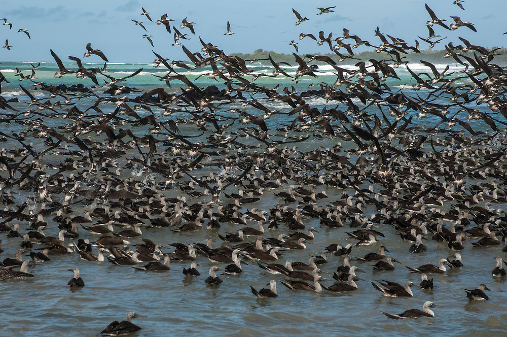 Blue-footed Boobies (Sula nebouxii excisa) in feeding frenzy aggregaton.<br /> Puerto Villamil, Isabela Island. GALAPAGOS ISLANDS,<br /> ECUADOR.  South America<br /> By far the least common of the three booby species in Galapagos but the Blue-footed Boobies are the most commanly seen as their small colonies are spread throughout the archipelago. They nest close to shore on flat areas. The nests are relatively closely spaced, but consist of nothing more than a shallow scrape in the ground. They have less than an annual breeding cycle and different colonies can be found breeding around the archipelago throughout the year. Their courtship antics are entertaining. In trying to attract a mate the male actually dances. If a female is attracted to him she will join him and together they will dance the 'booby two step'. Sexes are differentiated by the eyes. Males appear to have smaller pupils than females. (females have a darkly stained iris giving the impression of a larger pupil) The female is also larger and her voice is distinct - a honk while the male whistles. They are inshore feeders and are able to dive in shallow water. As they feed close to shore it is feasible for the parent birds to return with food sufficient for three chicks so in a good year they may raise up to three.