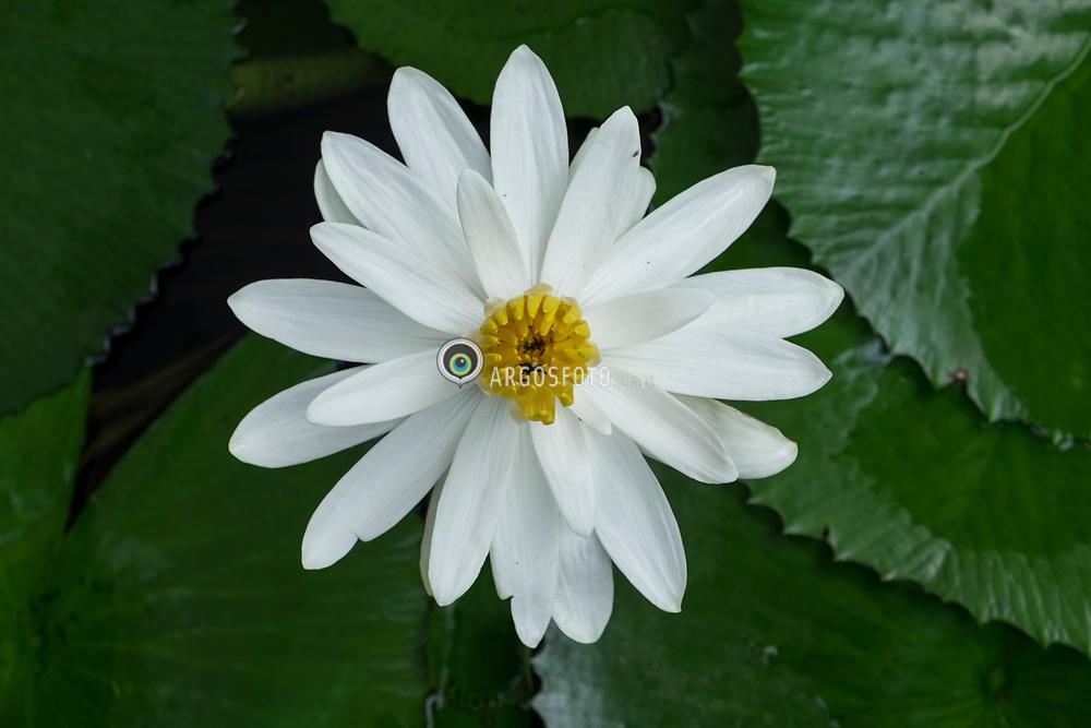 Centro de Arte Contemporanea Inhotim, Brumadinho, MG, Braszil. 2016. Nymphaea lotus, conhecida popularmente como nenufar-branco, lotus-branco, lotus-do-egipto, loto-sagrado-do-egito e lotus-sagrado-do-egito, eh uma planta aquatica com flor pertencente a familia Nymphaeaceae. Eh natural do leste de Africa e Sudeste asiatico, onde tem preferencia por aguas paradas, limpidas, mornas e ligeiramente acidas.  =  Nymphaea lotus, the white Egyptian lotus, tiger lotus, white lotus or Egyptian white water-lily, is a flowering plant of the family Nymphaeaceae.