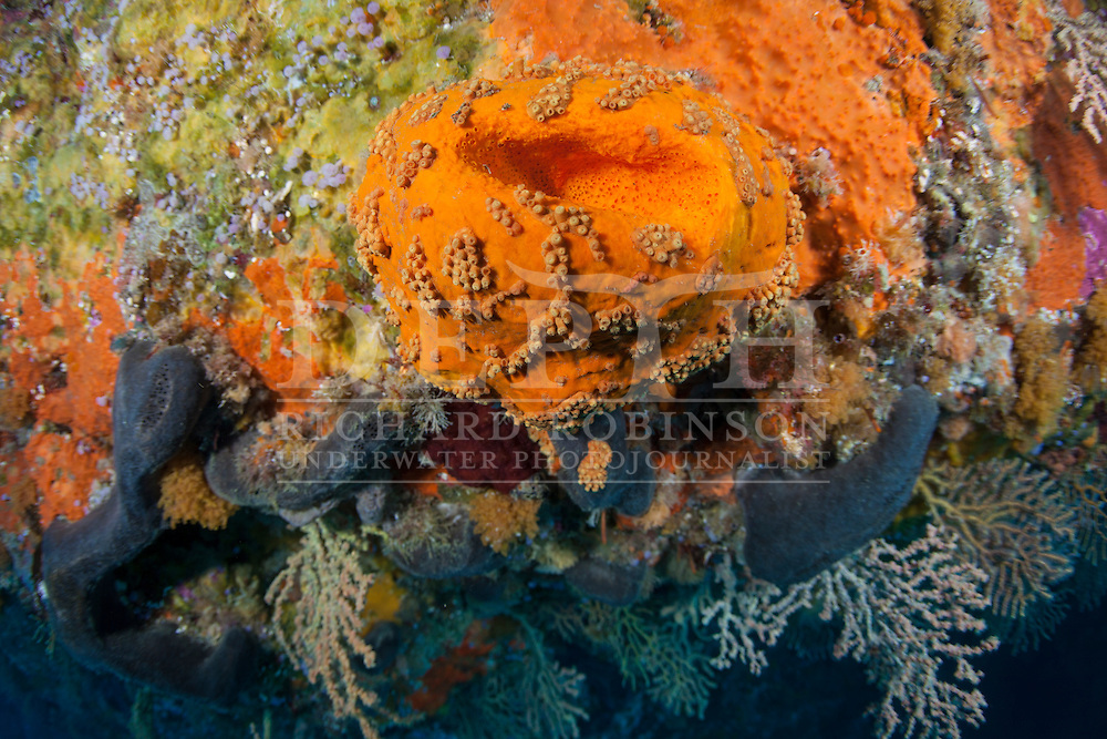 Stelletta crater (Sponge) covered by the bright orange encrusting sponge Desmacella dendyi. Wednesday 30 April 2014<br /> Photograph Richard Robinson &copy; 2014<br /> Dive Number: 527<br /> Site: Cream Gardens, Poor Knights<br /> Boat: Mazurka<br /> Dive Ian Skipworth<br /> Time: 14:30<br /> Temperature:  18<br /> Rebreather: Inspiration Vision. Total Time On Unit: 345:11 hh:mm<br /> Maximum Depth: 75.5 meters<br /> Bottom Time: 153 minutes<br /> Mix: 16:50<br /> CNS: 93%<br /> OTU: 75%<br /> Bottom Time to Date: 36,337 minutes<br /> Cumulative Time: 36,490 minutes