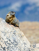 Yellow bellied marmot on rocks,  Rocky Mountain National Park, Colorado