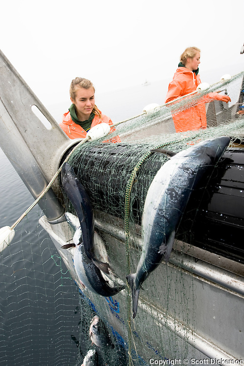 Sockeye salmon caught in a gillnet are rolled aboard while commercial fishing in the Eastern Aleutian Islands, area M, region aboard the F/V Lucky Dove.