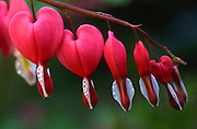 Philadelphia Gardens, Bleeding Hearts, Spring, Pennsylvania
