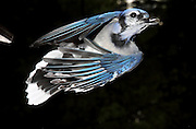 Blue Jay, Cyanocitta cristata, captured in flight.