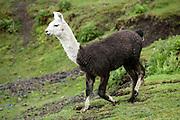Llama, Lake District, Chile