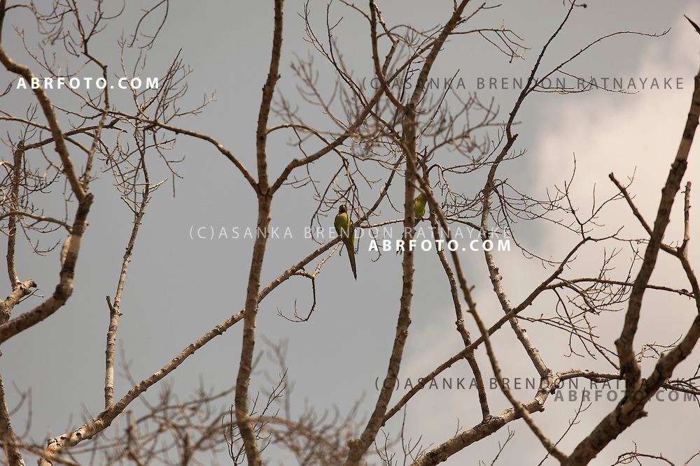 Parrots in the trees at Udawalawe National Park lies on the boundary of Sabaragamuwa and Uva Provinces, in Sri Lanka. The national park was created to provide a sanctuary for wild animals