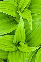 False helebore/ Corn Lily (Veratrum viride)