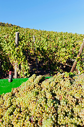 Vineyards above village of Bernkastel-Kues at harvest time in Mosel Valley in Germany