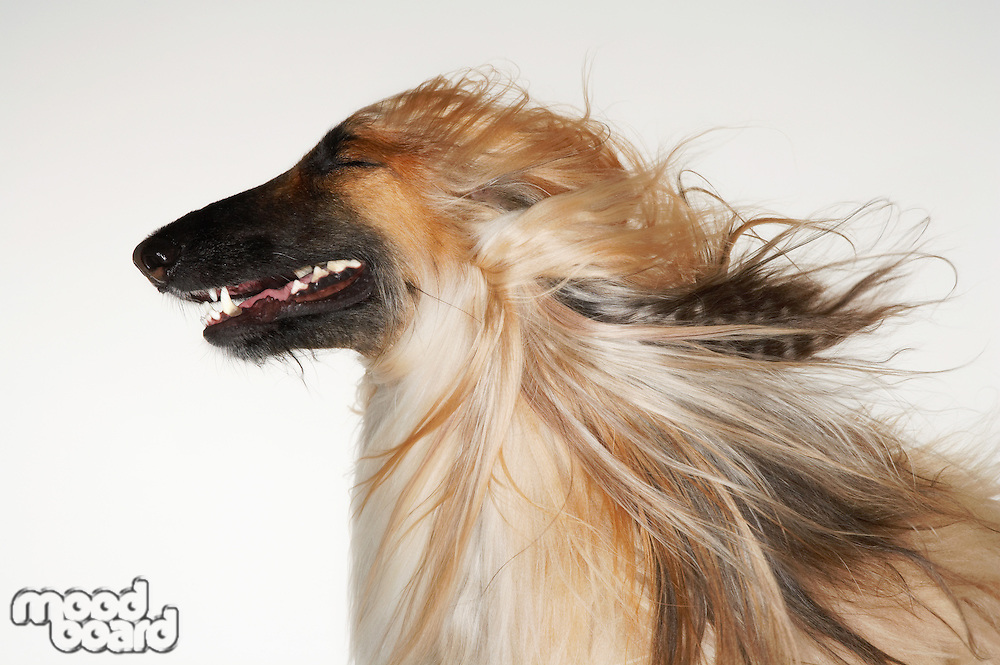 Afghan hound eyes closed windblown fur close-up profile