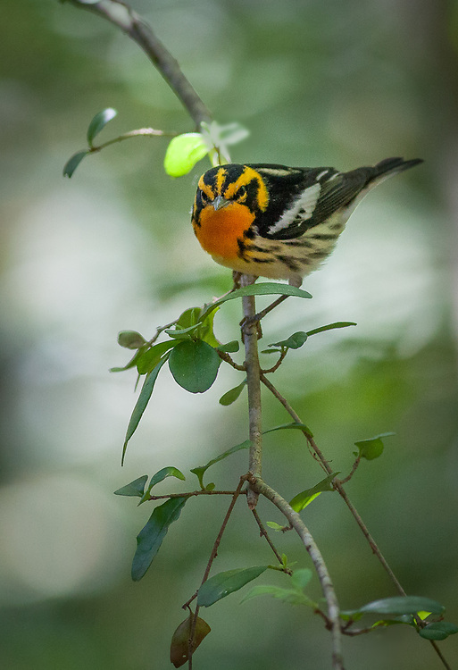 Setophaga fusca, Texas