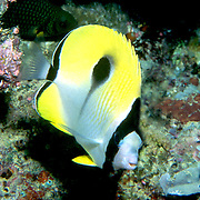 Teardrop Butterflyfish inhabit reefs. Picture taken Fiji.