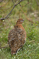 A perfect female ptarmigan shows off her plumage