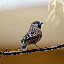 Weaverbird balancing on a tiny branch.