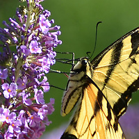 Eastern Tiger Swallowtail on Butterfly Bush.