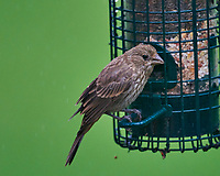 Female House Finch. Image taken with a Nikon D810a camera and 600 mm f/4 VR telephoto lens.