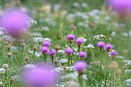 Alpen-Bergscharte (Rhaponticum scariosum subsp. rhaponticum) und Berg-Laserkraut (Laserpitium siler) auf einer Wiese im Val d'Err im Kanton Graubünden im Surses in der Nähe von Savognin