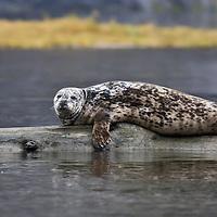 Rudyerd Bay Harbor Seal