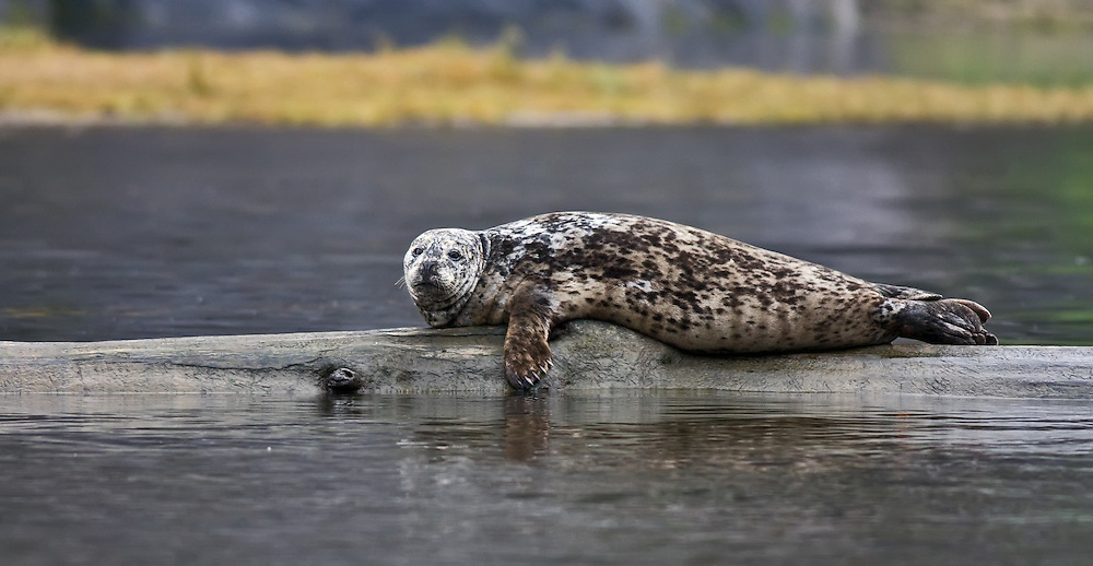 Rudyerd Bay Harbor Seal