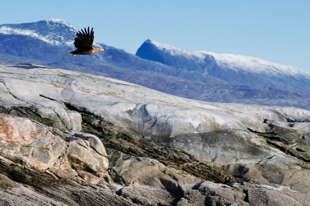 White-tailed eagle, Haliaeetus albicilla <br /> Atlantic marine life, Saltstraumen, Bod&ouml;, Norway