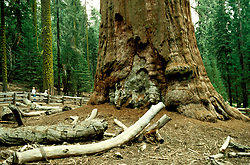 CA: Sequoia-Kings Canyon National Park, General Sherman Tree, Largest of the Sequoia trees, sequoiadendron giganteu, largest tree on earth         .Photo Copyright: Lee Foster, lee@fostertravel.com, www.fostertravel.com, (510) 549-2202.Image: catree208
