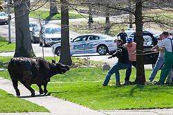 A escaped steer tries to break free after being lassoed by UK sophomore animal science major Adam Menker in Lexington, Ky.