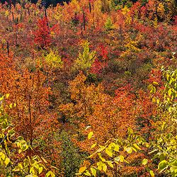 Fall foliage in a boggy area around Round Pond in Barrington, New Hampshire.