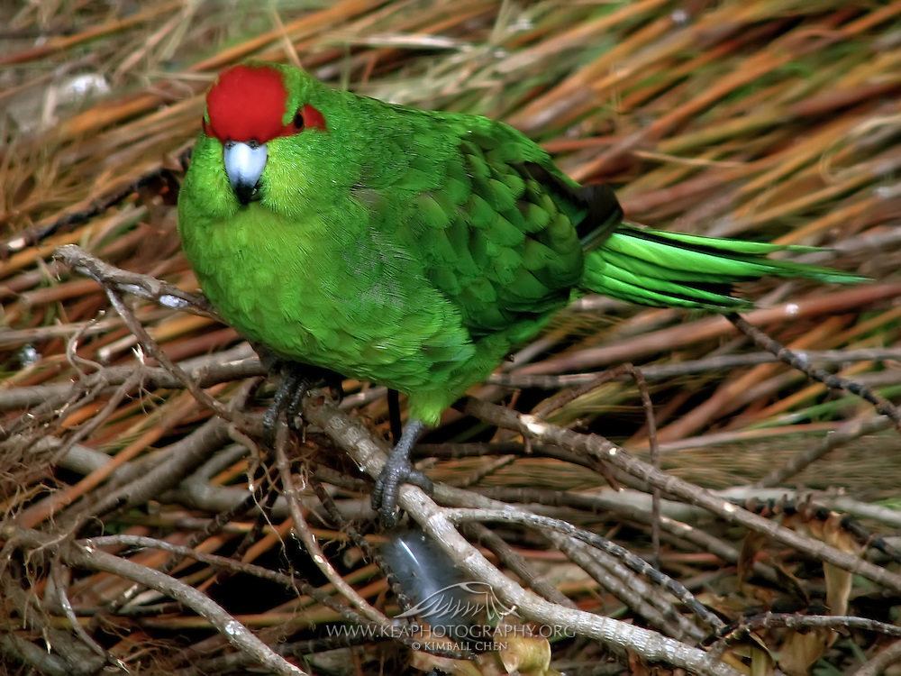 Red-crowned Parakeet, New Zealand