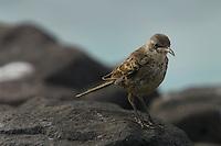 A Espanola (Hood) Mockingbird (Mimus macdonaldi) on a rock.