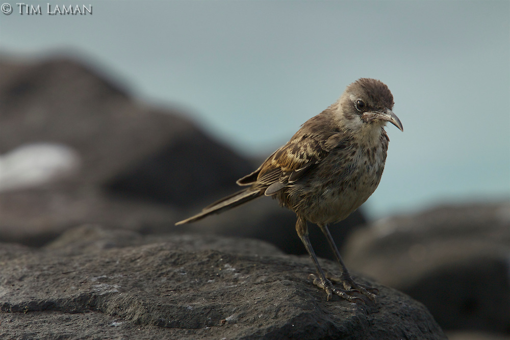 A Espanola (Hood) Mockingbird (Mimus macdonaldi) on a rock.