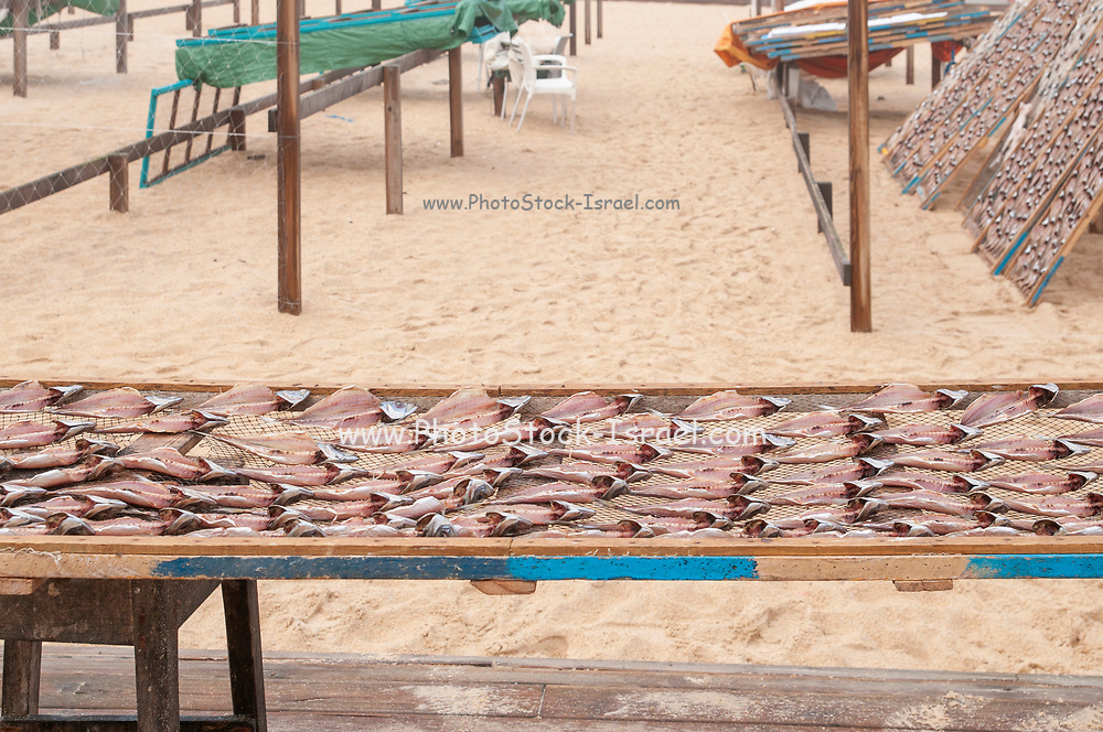 In order to preserve the fish Portuguese Fishermen dry the fish in the sun on the beach. Photographed in Nazare, Portugal