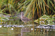 18: INSIDE PASSAGE DOWITCHER