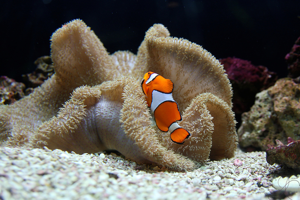 Anemone fish - better known as Clown fish - live within a particular sea Anemone, which acts as a home, defense shelter and partner. Even the most routine interactions look amazing.