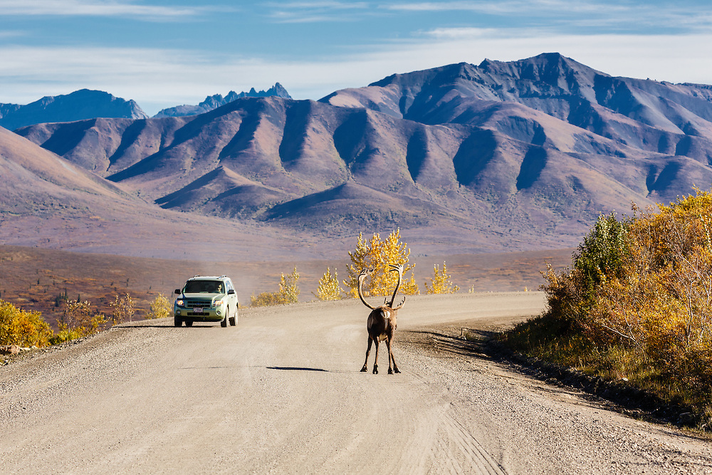 A car approaches a caribou (Rangifer tarandus) standing on the park road in Denali National Park in Interior Alaska. Autumn. Afternoon.