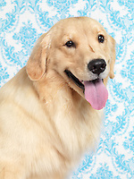 Golden Retriever artistic indoor portrait on blue pattern background