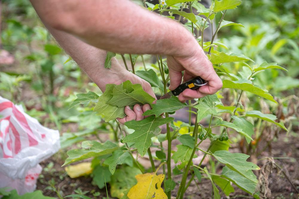 Leaves are cut off of a young pepper (Capsicum) plant in Ganta, Liberia