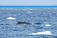 Minke whale dorsal fin surfacing in the Antarctic. Nature and wildlife wall art. Fine art photography prints. Nicki Geigert
