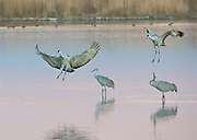 Sandhill Cranes landing at dusk, Bosque del Apache NWR, New Mexico
