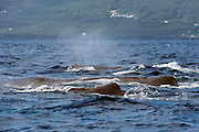 Male Sperm Whales, Physeter macrocephalus, travel in a large pod offshore Pico Island, Azores, Portugal, North Atlantic.