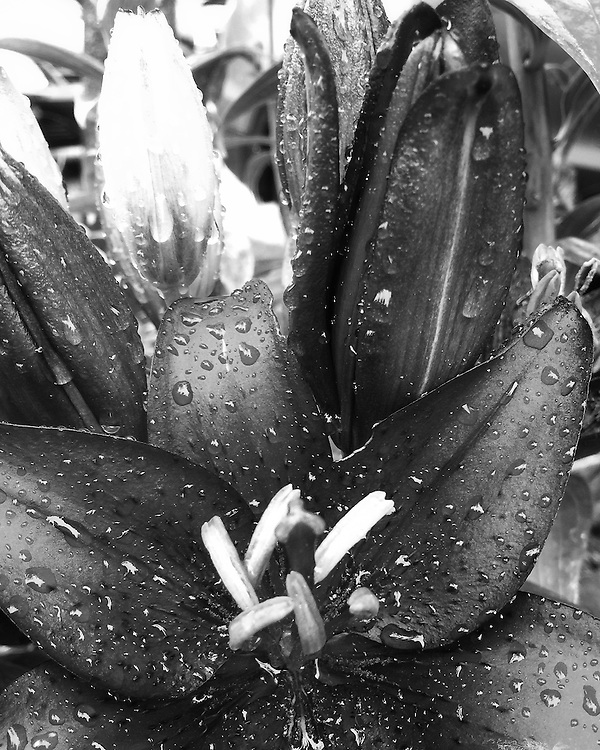 Plant Life is a black and white photo series exploring the everyday beauty that surrounds us. By focusing on nature's intricate shapes and textures, these captures turn each petal into delicate sculpture.<br /> <br /> Shot on iPhone.<br /> <br /> Prints available by request.